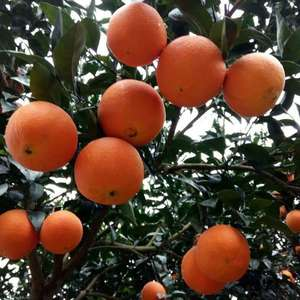 本处大量出售秭归脐橙、长虹、纽荷尔、中华红橙、血橙、伦晚...