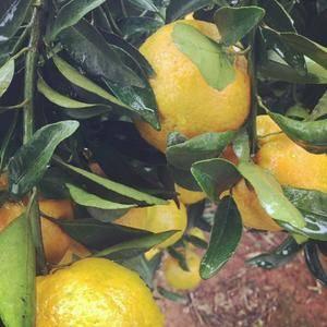 自家果园种植大量椪柑,个大皮色好,价格优惠!欢迎各位老板...
