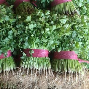 聊城莘县铁杆绿香菜大量上市了,适合冷库储存和发市场,质量...