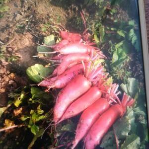 大量供应萝卜,自种的50亩,量大从优,电话1330370...