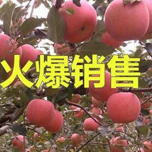 红富士苹果产地直供 质优价廉货源充足1526599637...