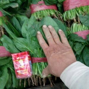本地常年种植各种蔬菜,温室大棚香菜,菠菜,油麦,芹菜,茴...