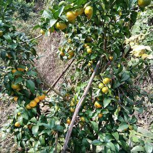 我是广西荔浦砂糖橘代办,这边砂糖桔比较迟要到12月20号...