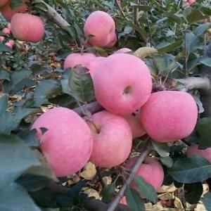山东苹果掉价了.纸袋.膜袋.纸加膜.水晶红富士苹果大量销...