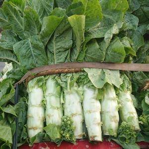 大量供应莴苣,高30到40厘米,单颗1.5斤,价格便宜,