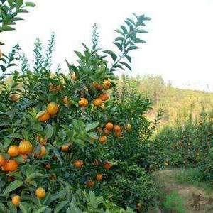 我们这里都是种植沙糖桔为主,口感好果子鲜红,可大量供货,...