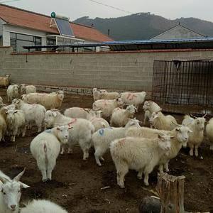 出售绒山羊,肉羊。电话微信同步13897817897