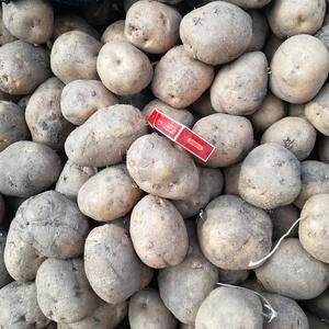 出售大量绥化地区马铃薯。品种有荷兰七,荷兰十五,803,...