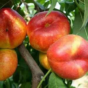 本农场大量供应,桃树新品种,早春1号,2号。成熟期5月1...