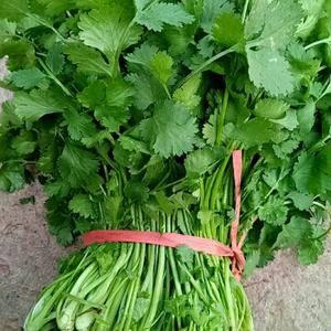 优质香菜量大,基地供应,13037533480价格0.5...