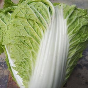 蒲城秦白二号白菜,青杂三号大量上市价格两毛,现在供货量大...