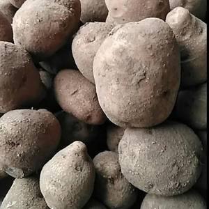 土豆出售,有买的请与我联系13889375472
