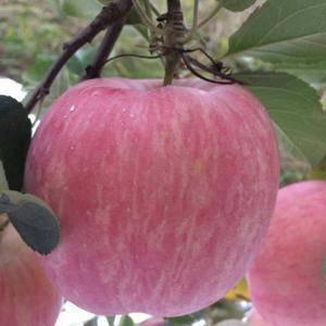 山东红富士苹果产地,提供膜带,纸袋,纸荚膜红富士。冷库红...