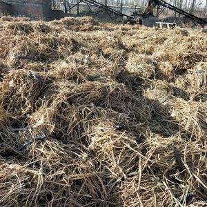 我社已经采收黄芪(铁芪)几十万斤,时间一个月,自然晾晒中...