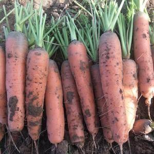 我处有万亩胡萝卜大量上市中,有需要的话可以实地考察合作