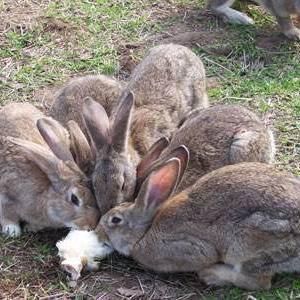 养殖场肉兔。