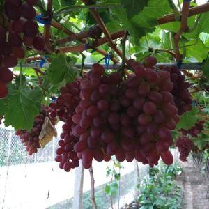 西昌市葡萄品质好,量也大,口感好