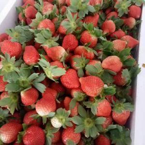 邳州市港上草莓基地草莓已经上市欢迎新老客户前来咨询153...