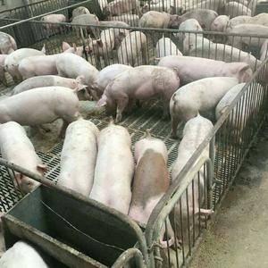 山东猪场拆迁仔猪便宜了18653912855山东仔猪生猪...