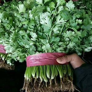 本地常年有大量香菜,及各种叶子菜,质量一级,备有大型冷库...
