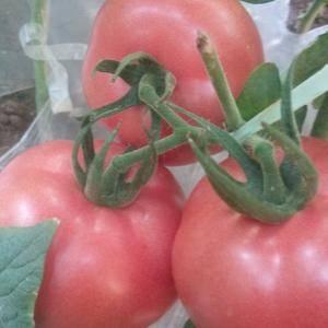 我这里有大量硬粉西红柿上市了。价钱合理!质量第一欢迎前来...