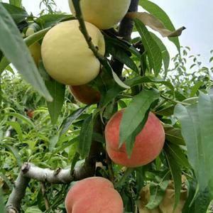 早巨红:极早熟大果型白肉红毛桃品种,五月底六月初成熟,单...