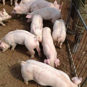 山东仔猪养殖基地,热线:13573912087 常年供应...