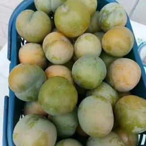 供应贵州安顺镇宁六马蜂糖李子苗。