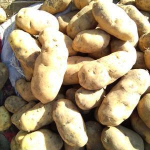 大量批发代办河北围场优质土豆荷兰十五,个头大颜色亮泽薯型...