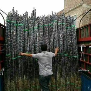 广西博白黑皮甘蔗大量上市。电话13657753218