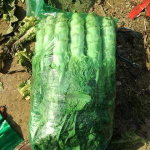 我市场大棚莴苣大量上市,近几天价格比较稳定,质量优级,欢...