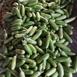 大量供应绿皮西葫芦,大小规格都有,欢迎来洽谈,持续供应至...