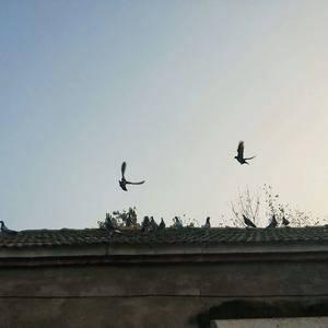 农村散养土鸽,老鸽子,欢迎各位朋友试吃,选购!真空包装加...
