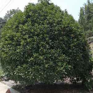 大量供应桂花树,紫薇树,银杏树,栾树等,苗圃看货,以质论...