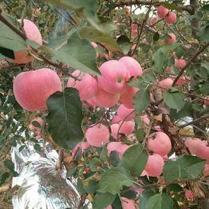 山东红富士苹果大量出售  个头大  口感好  颜色鲜亮提...