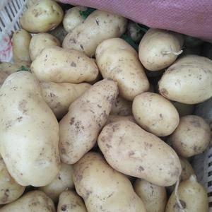大量荷兰十五土豆出库走货中  皮毛鲜亮  个头大 质量好...