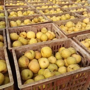安徽宿州砀山,是砀山酥梨的发源地。砀山产的砀山梨,皮色金...