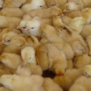 亲,你好,欢迎你的光临 本店出售,鸡,鸭,鹅苗,量大从...