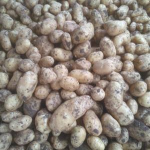 自己库存的荷兰806土豆   3两通天 无青头 无烂果 ...