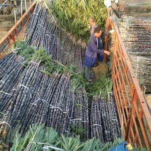 广西玉林市博白县大量黑皮甘蔗出售,欢迎有需要的老板前来选...