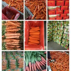 专业加工带苗红萝卜。