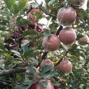 刘老二苹果,自家果园无公害,超好的口感,不打蜡,皮薄,色...