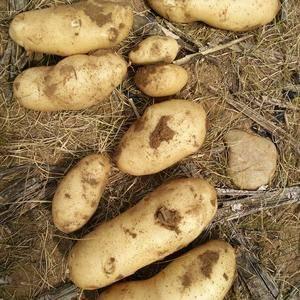 内蒙古四子王旗基地一手夏坡蒂土豆出售,皮毛亮,薯形好,三...