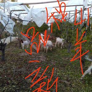 自己养的纯种山羊100只,体形健壮,吃纯绿色食物,健康!...
