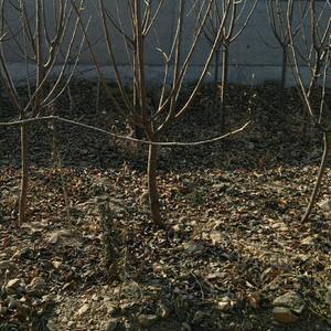 樱桃树苗品种好,价格电谈,电话13953908481