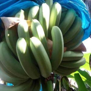 长年代收香蕉。产品质量请各位老板放心。目前随时可以供货,...