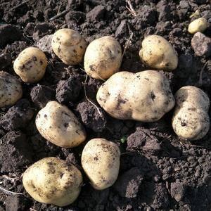 出售荷兰十五种子菜豆个头大皮毛亮,多大起都行货在牙克石