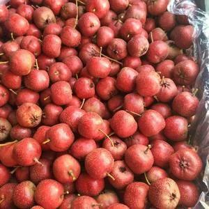 河北铁渣手摘果,硬度好,无烂果。