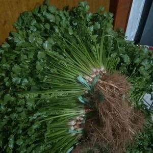 即墨市移风镇大坝村,大叶香菜大量上市中。