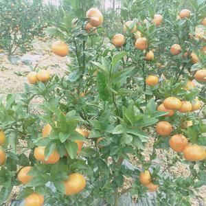 融安默科特柑橘上市,现火热订园中。联系电话1897805...